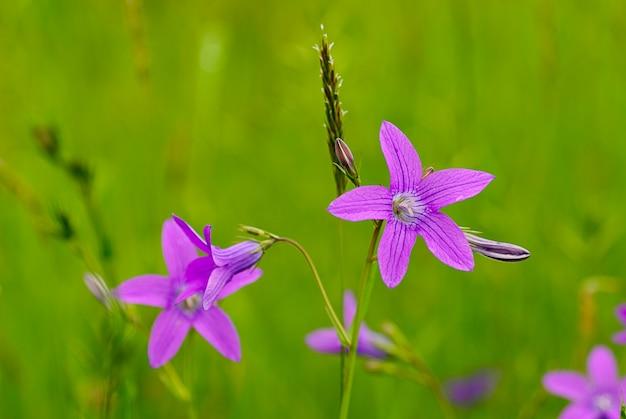Tło roślina łąka: fioletowe kwiaty i zielona trawa.