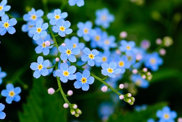 Tło roślina łąka: niebieskie małe kwiaty z bliska i zielona trawa. shallow dof