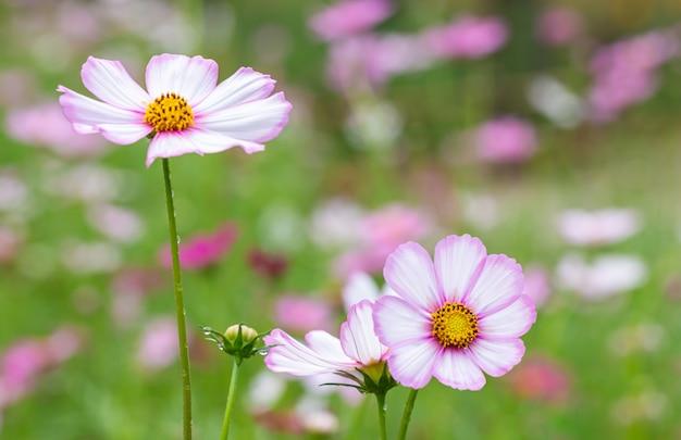 Tło scenerii kwiatu, różowy kosmos.