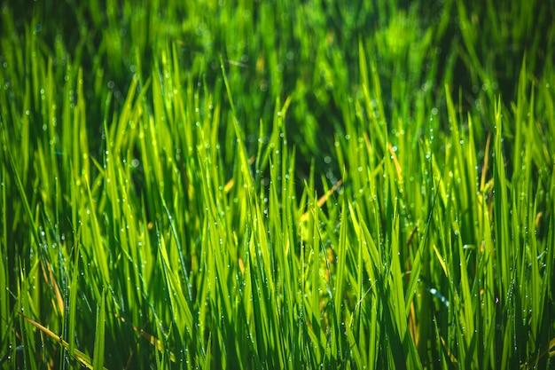 Tło selektywne focus zbliżenie ryżu pola