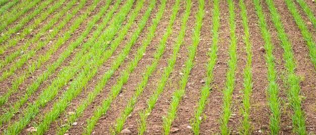 Tło środowiska naturalnego przydatne dla pojęć związanych z krajem i rolnictwem. szczegóły pola uprawnego z uprawą.