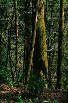Tło subtropikalny las cisowy bukszpan z omszałymi pniami drzew