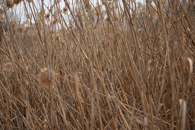 Tło suchych beżowych pni trzcin