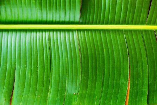 Tło tajlandzki zielony bananowy liścia odgórny widok