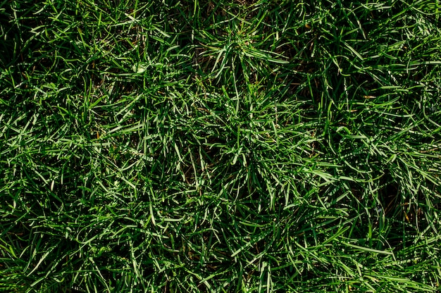Tło tekstura tłustoszowata zielona trawa