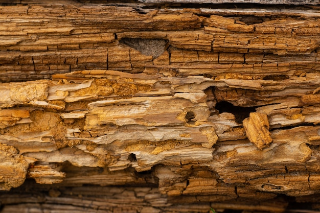 Tło tekstury kory drzewa, zgniłe sosny