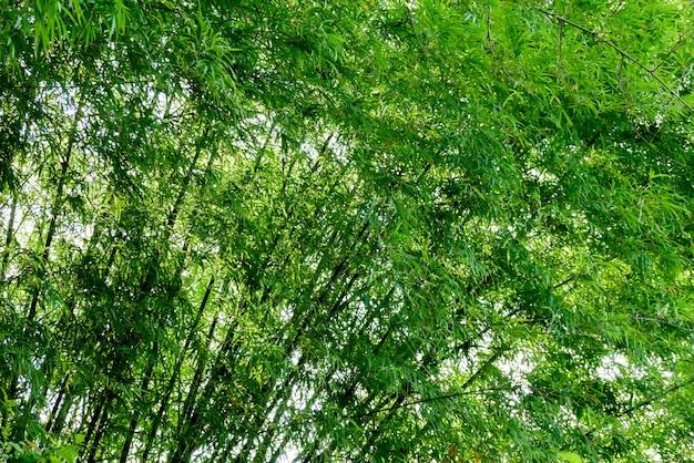 Tło tekstury zieleni bambusowy drzewo