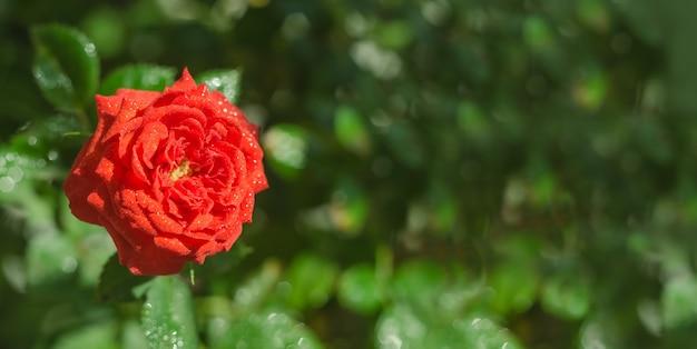 Tło transparent z życzeniami, delikatny czerwony kwiat róży na zielonym tle z miejsca na kopię z selektywną ostrością