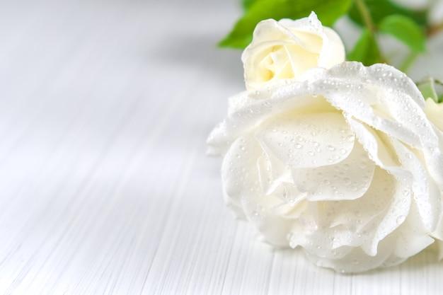 Tło wakacje. białe róże z kroplami rosy na lekkiej teksturze