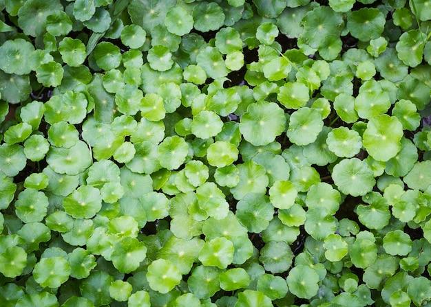 Tło wąkroty azjatyckiej, centella asiatica natura ziele.