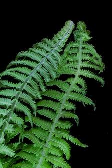 Tło warzywne, zielone liście paproci na ciemnym tle