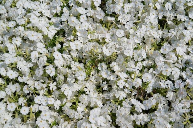 Tło wiele białych kwiatów w lecie. cerastium biebersteinii.