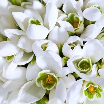 Tło wiosennych kwiatów przebiśniegów (kompozytowe zdjęcie makro ze znaczną głębią ostrości, kwadratowe proporcje)