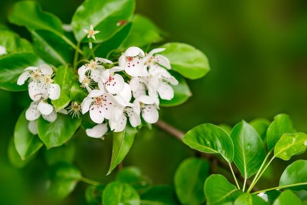 Tło wiosna. białe kwiaty w zielonych liściach. kwitnąca gruszka.
