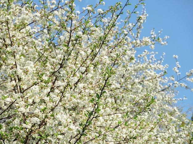 Tło wiosna kwiatów. pierwsze wiśniowe kwiaty w wiosennym słońcu.