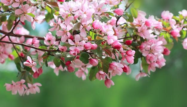 Tło wiosna piękny kwiat jabłoni