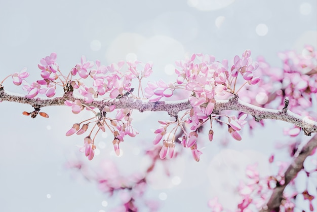 Tło wiosna z gałąź różowy kwiat wiśni. piękna przyroda