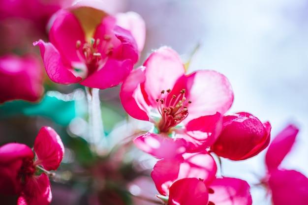 Tło wiosna z kwitnących jasne różowe kwiaty jabłoni. piękna scena natury ze światłem słonecznym. sad streszczenie niewyraźne tło wiosna z miejsca na kopię. słoneczny dzień wielkanocy nastrojowe odważne kolory