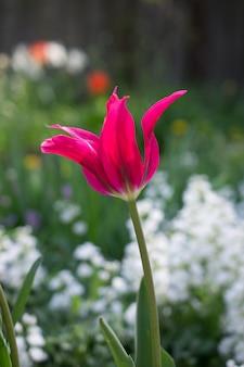 Tło wiosna z różowy tulipany kwiat. wiosna kwiat na naturalnym bokeh tle. piękny naturalny bokeh tło.