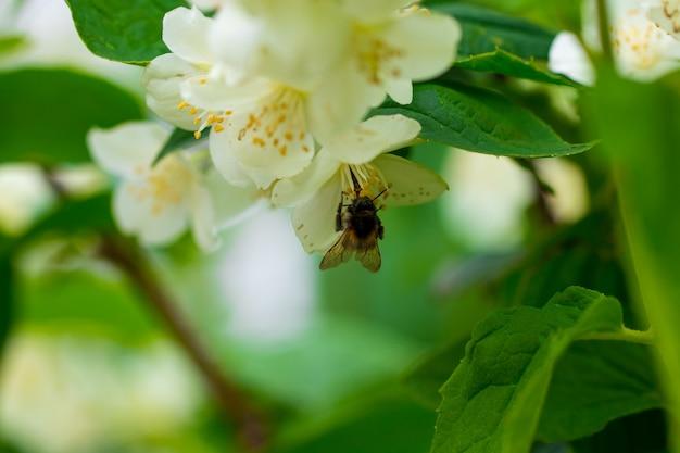 Tło z bliska z kwiatów jaśminu w ogrodzie.