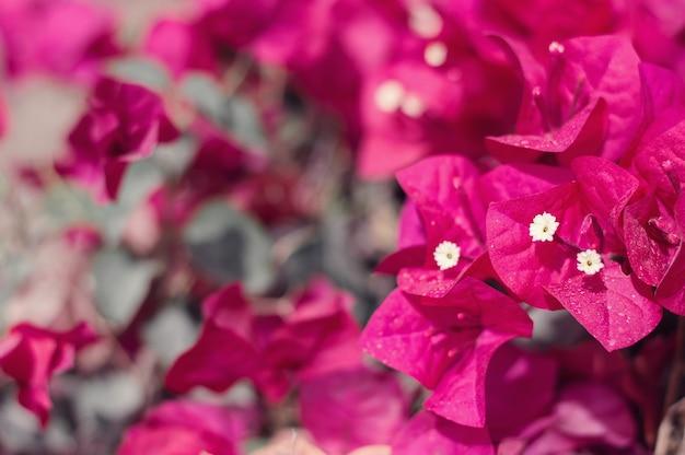 Tło z ciemnoczerwonymi kwiatami bugenwilli