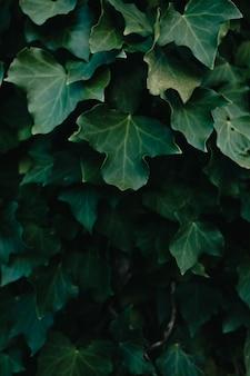 Tło z ciemnozielonych liści z super teksturą i przestrzenią kopiowania i teksturą z ciemnymi cieniami