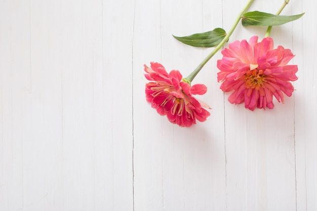 Tło z kwiatów cynia