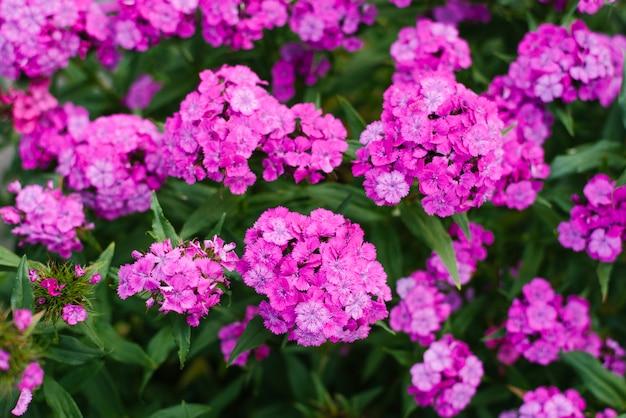 Tło z kwiatów goździków różowy turecki