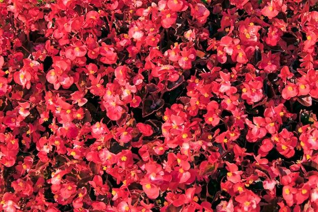 Tło z małych jasnych czerwonych kwiatów.