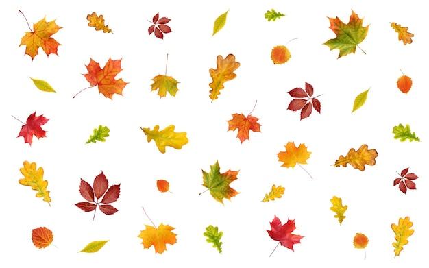 Tło z opadającymi jesiennymi liśćmi na białym tle. żółte, czerwone i pomarańczowe liście klonu, dębu, osiki i innych drzew.