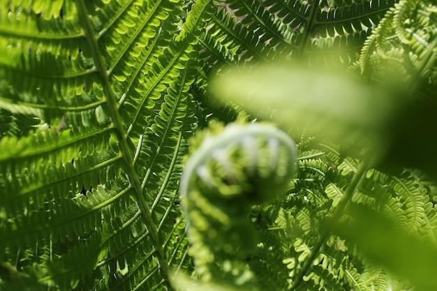 Tło z paproci z bliska i kopia przestrzeń. tekstura makro liści paproci naturalnych. selektywne skupienie. piękne tło wykonane z młodych zielonych liści paproci. zielony liść paproci z bliska.