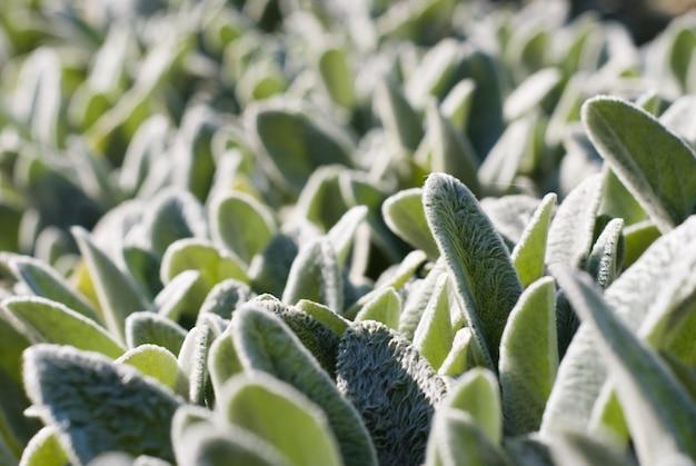 Tło z pięknych zielonych liści soczystej rośliny