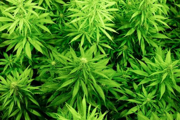 Tło z roślin marihuany, widok z góry. przemysłowa uprawa konopi