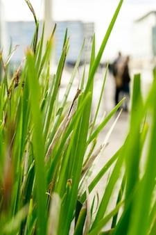 Tło z turzycy ozdobnej trawa zielona pasiasta turzyca pstry dekoracyjna wysoka trawa