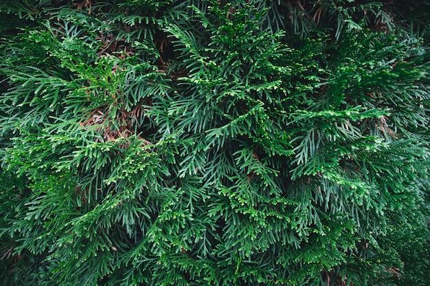 Tło z zielonej sosny. tło gałęzi choinki.