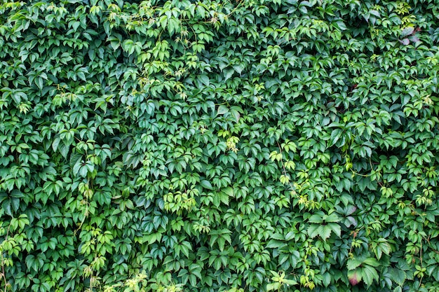 Tło z zielonymi świeżymi wino liśćmi