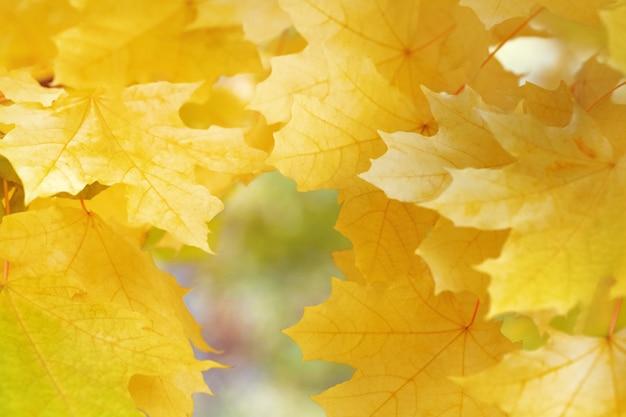 Tło z żółtymi liśćmi klonu