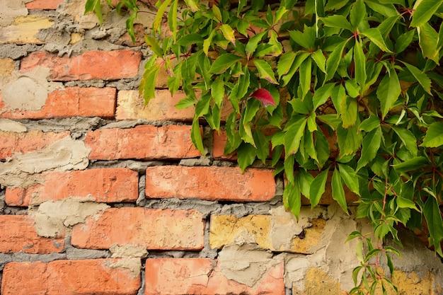 Tło ze starych ceglanych liści winorośli jest wplecione w prawy górny róg