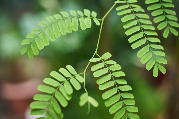 Tło zielone liście akacji, liście tropikalnej dżungli