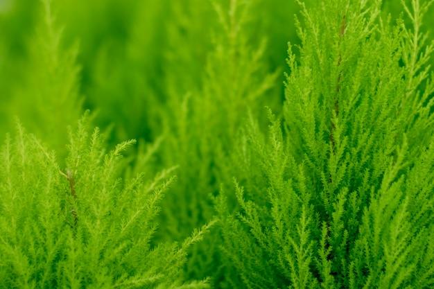 Tło zielone tui. naturalna jasna zimozielona tekstura. piękne zielone świąteczne liście drzew thuja