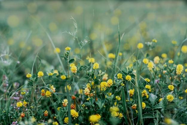 Tło zielony lato z żółtych kwiatów koniczyny, letnie dzikie kwiaty na łące