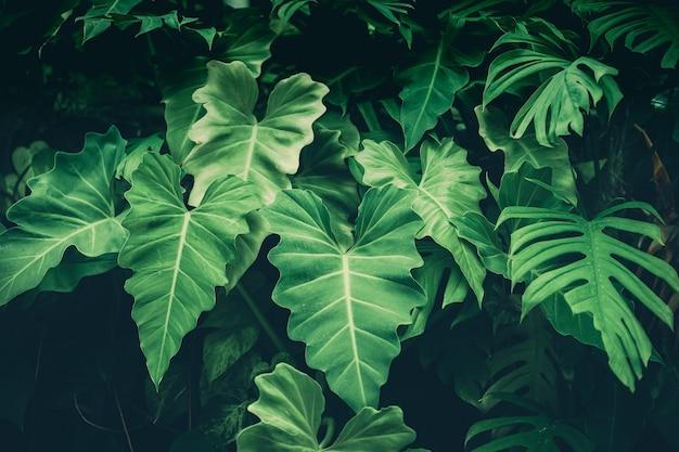Tło zielony liść (philodendron, philodendreae) piękne i przydatnedekoracyjne rośliny ozdobne