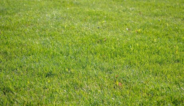 Tło zielony trawnik. tło natura. zielona trawa tekstura. dywan trawnikowy świeży wiosna
