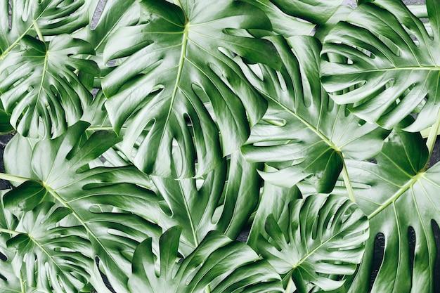 Tło zielony tropikalny liści. roślina doniczkowa monstera. zdjęcie przyjazne dla środowiska.