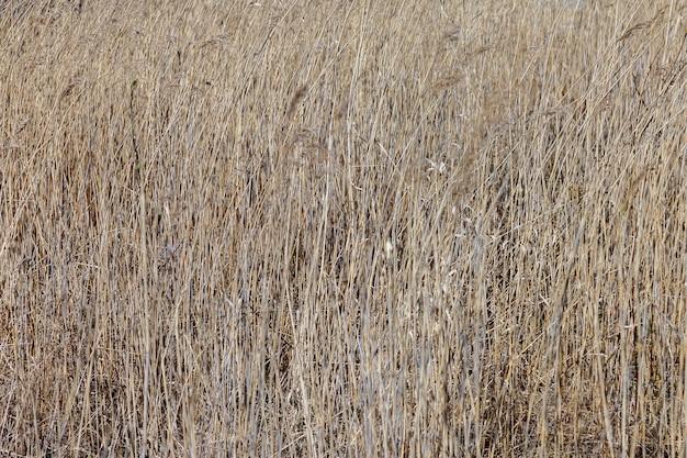 Tło żółtej suchej trawy. przyroda, ekologia, rośliny, uprawy. suche pole trawiaste z rośliną spikelet w ciepły, jasny dzień. przyczyna pożarów lasów na całym świecie. pojęcie suszy i odwodnienia