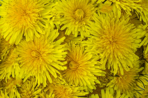 Tło żółtych kwiatów mniszka lekarskiego