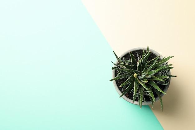 Tłustoszowata roślina na dwa brzmień tle, odgórny widok