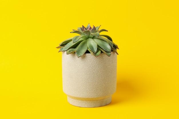 Tłustoszowata roślina na żółtym tle, przestrzeń dla teksta