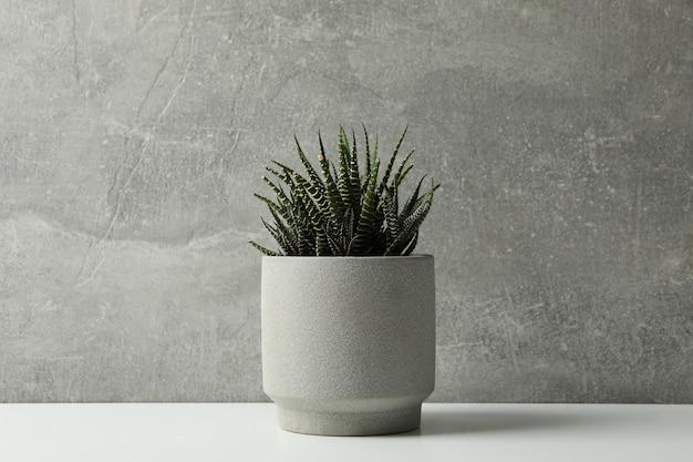 Tłustoszowata roślina w garnku na szarym tle, przestrzeń dla teksta