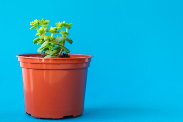 Tłustoszowata roślina w glinianym garnku nad błękitem